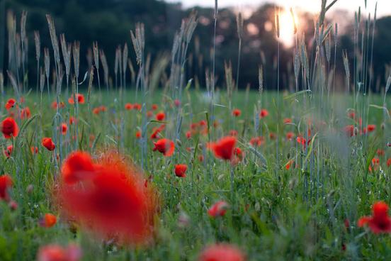 wild field poppy