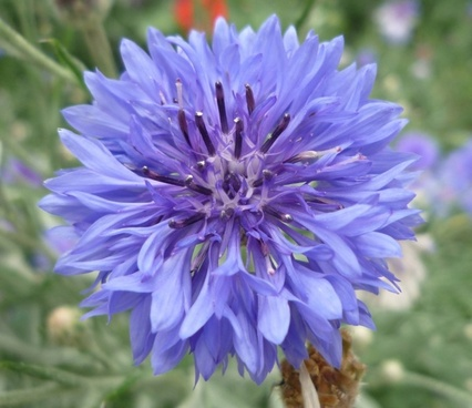 wild flower blue knapweed