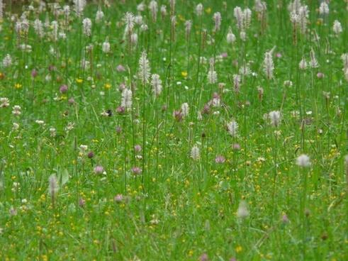 wild flower meadow meadow hoary plantain