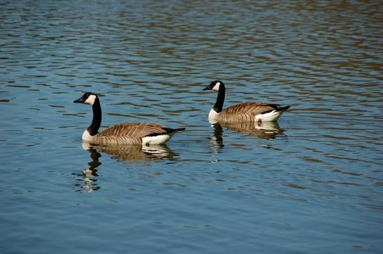 wild geese geese dike