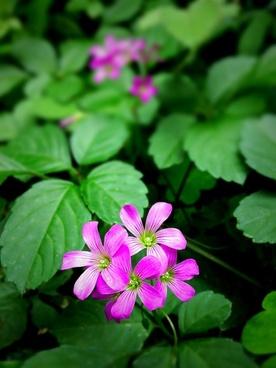 wild grass flowers pink
