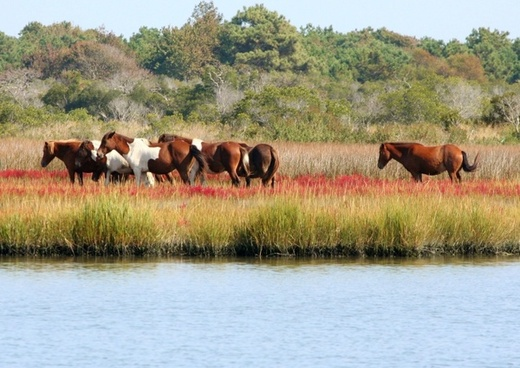 wild horses herd marsh ponies