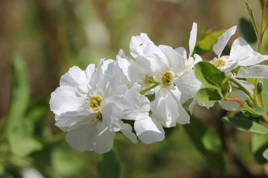 wild jasmine white bush onlooker