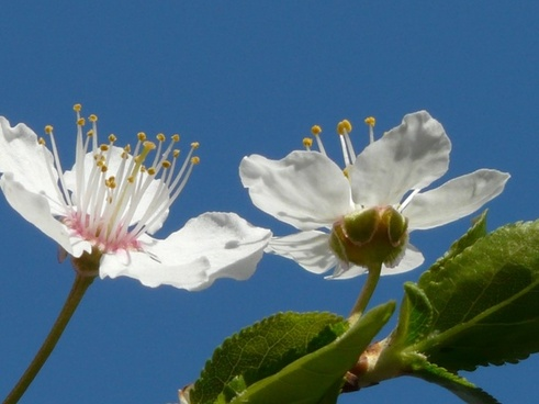 wild plum flower close