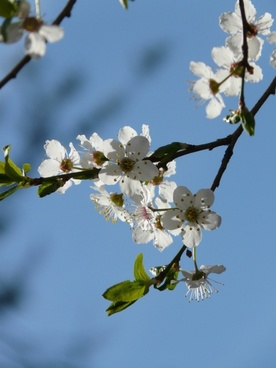 wild plum flower tree