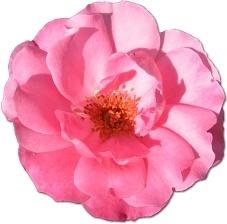 Wild Rose Pink 1