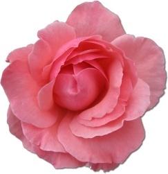 Wild Rose Pink 2