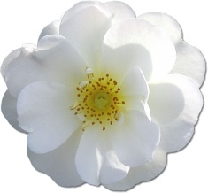 Wild Rose White 2