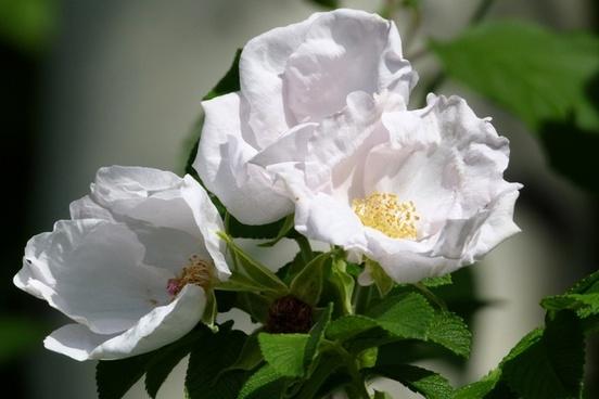 wild roses flower nature