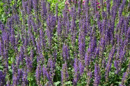 wild sage flower violet