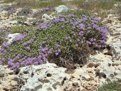 wild thyme thyme wild herbs