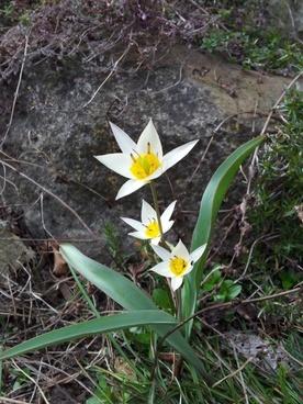 wild tulip nature wild flower