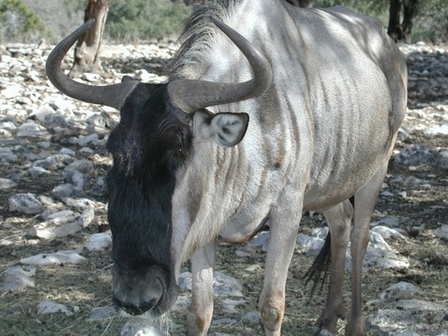 wildebeest white bearded animal