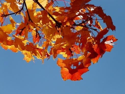 wind autumn maple leaves