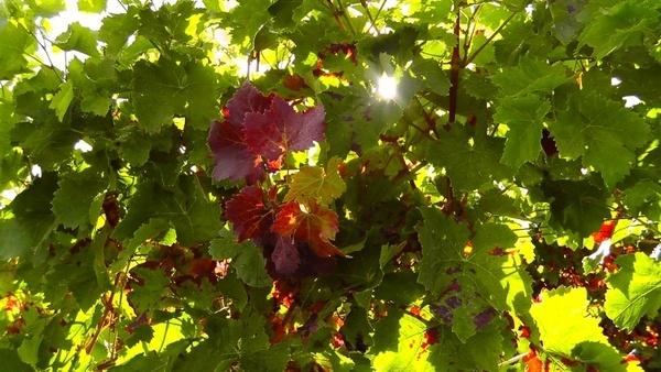 wine leaf wine plant