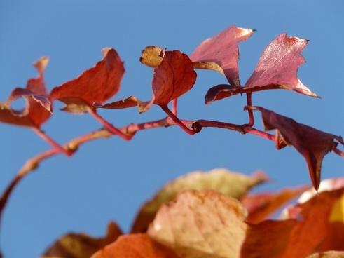 wine partner vine leaves grapevine