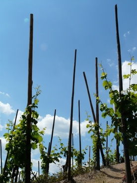wine vines vine