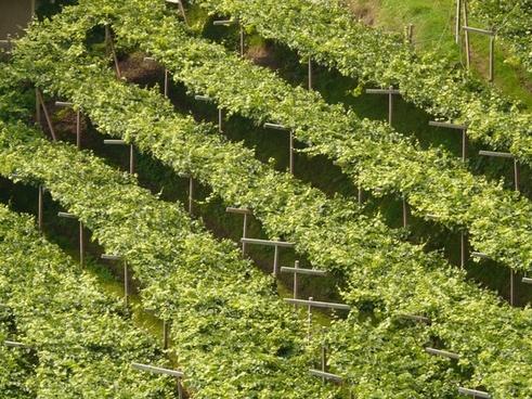 wine vineyard vine