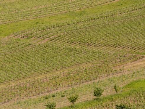 wine winegrowing vines