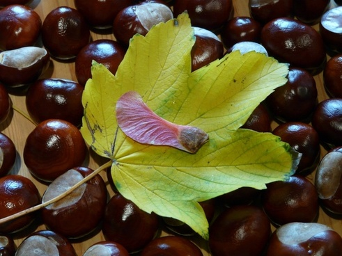 winged ahornfrucht maple fruit fruit