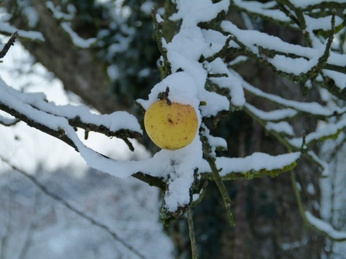 winter apple snow