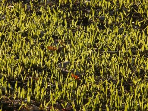 winter barley barley seed