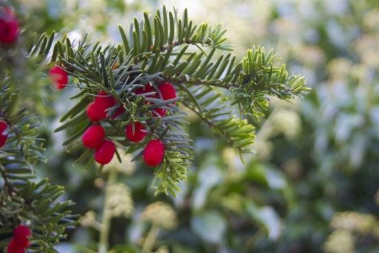 winter berries berry