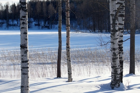 winter birch snow