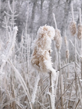 winter frost thistle