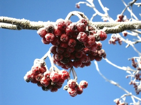 winter rowan berries red