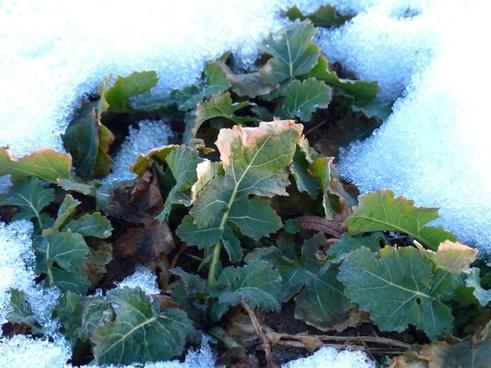 winterkohl winterfrucht kohl
