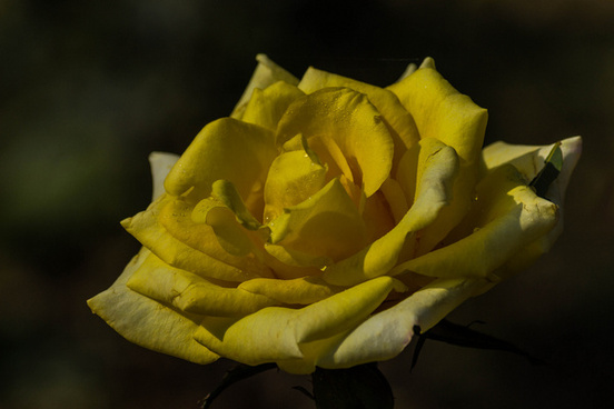 withered yellow rose
