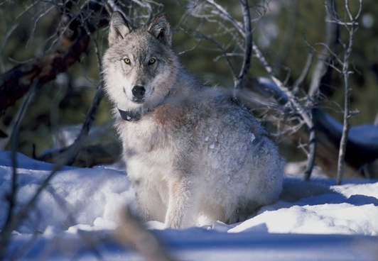 wolf canis lupus yellowstone national park