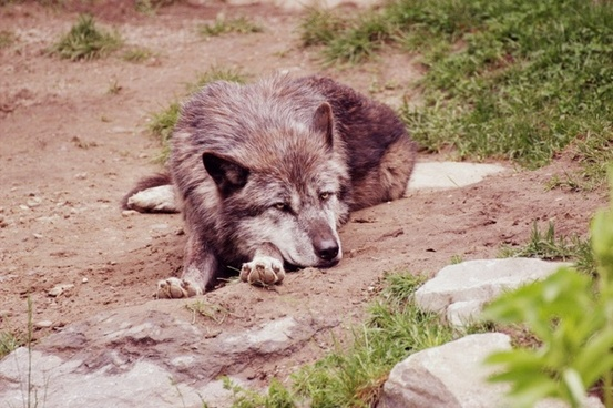 wolf nature animal world