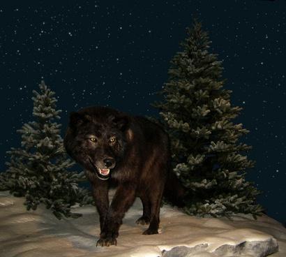 wolf night starry