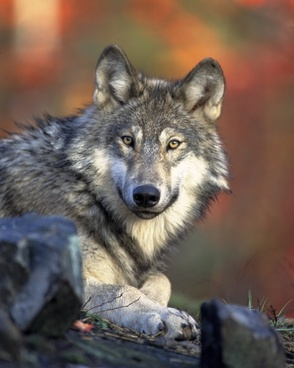 wolf predator canidae
