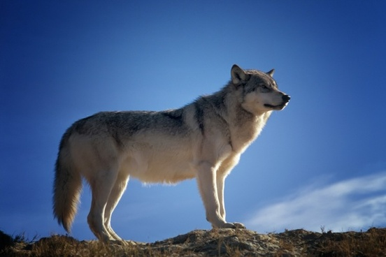 wolf predator wildlife