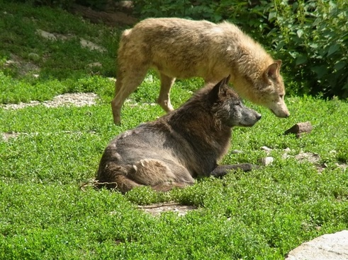 wolves canis lupus wild animal