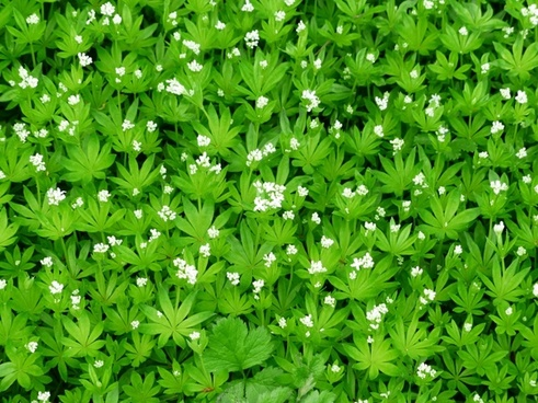 woodruff flower white