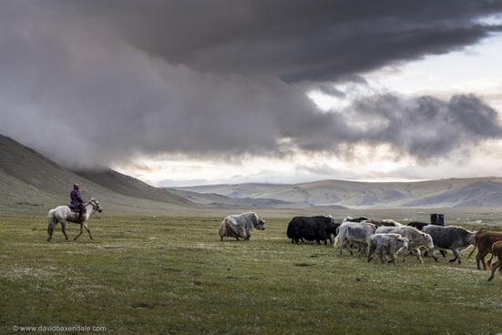 yak herding