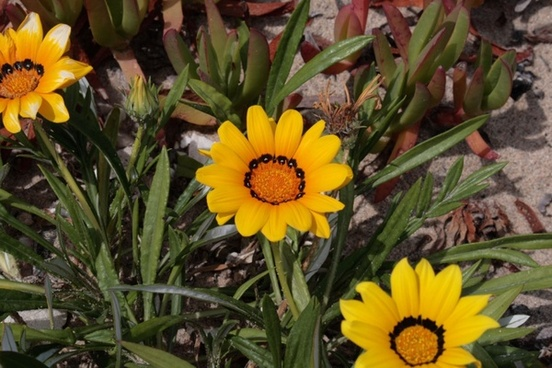 yellow african daisy blooms