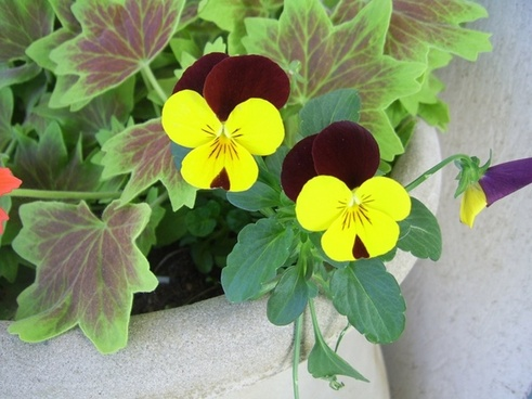 yellow and black pansies