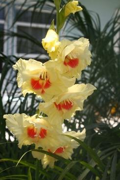 yellow and orange gladiolus