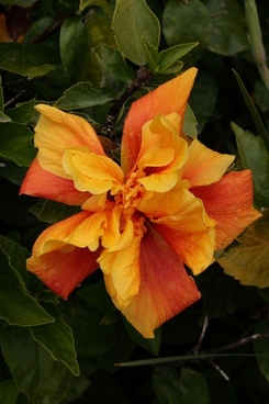 yellow and red hibiscus bloom