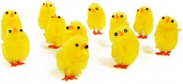 yellow chicks