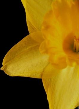 yellow daffodil