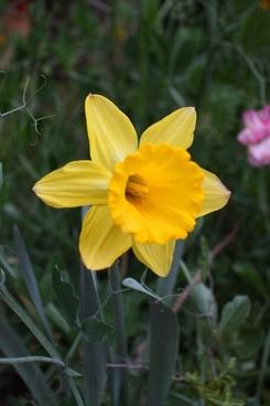 yellow daffodil bloom