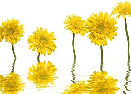 yellow daisies picture