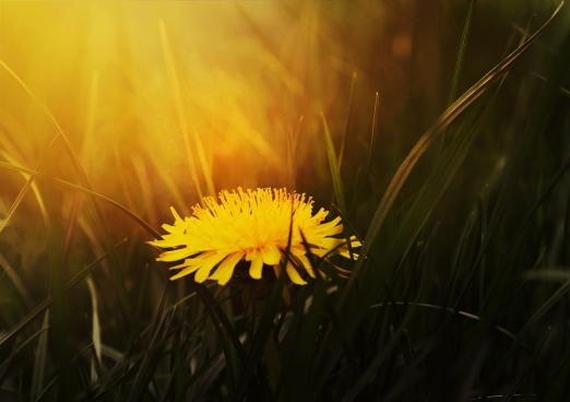 yellow dandelion during golden hour