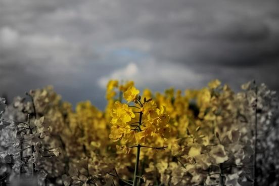 yellow field flora